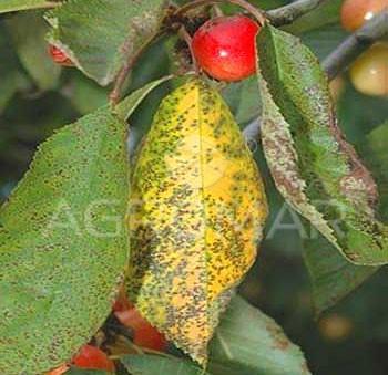 Коккомикоз плодовых деревьев