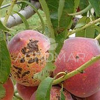 Клястероспориоз плодовых деревьев
