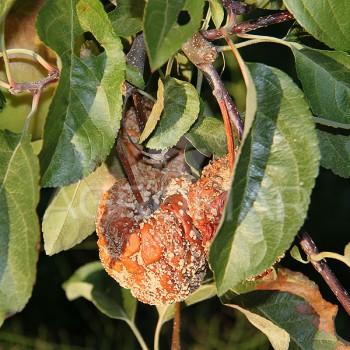 Монилиоз плодовых деревьев