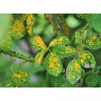 Жёлтая ржавчина на розах
