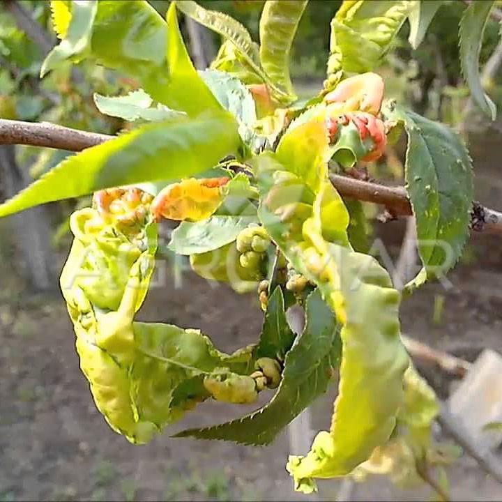 представлен почему на персике желтеют листья странице расположена
