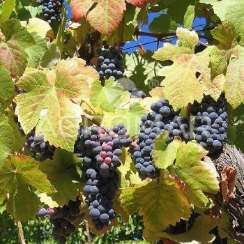 Плямистий антракноз виноградної лози