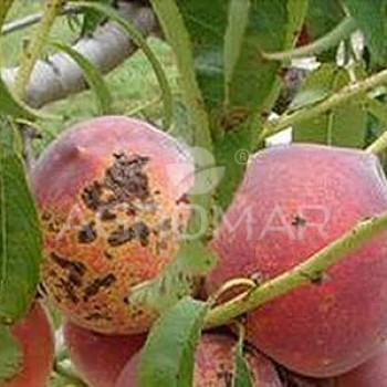Клястероспоріоз плодових дерев