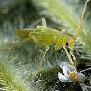 Макролофус калигинозус защита растений от вредителей