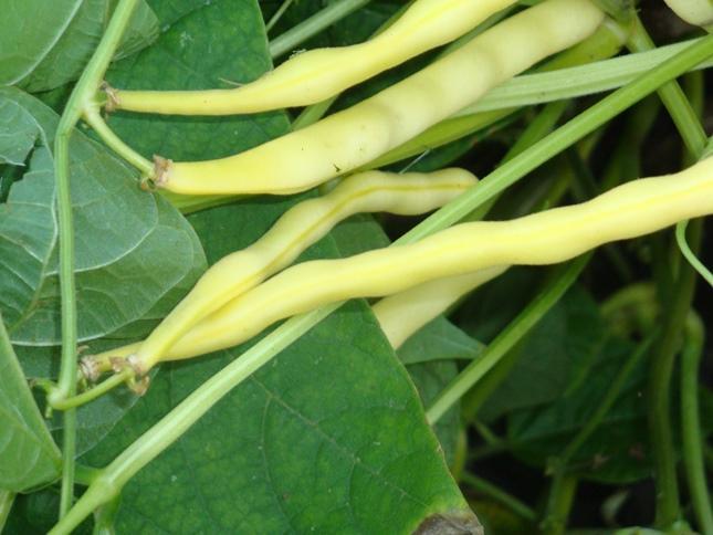 Заболевания зерно бобовых культур